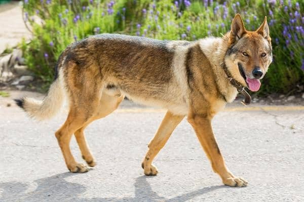 Dog Breed Looks Most Like Wolf