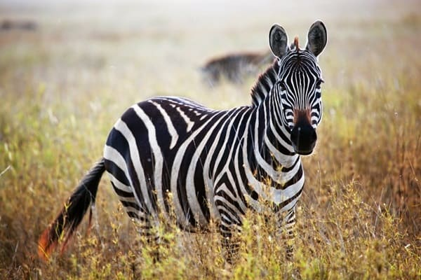 Amazing Information about Zebras