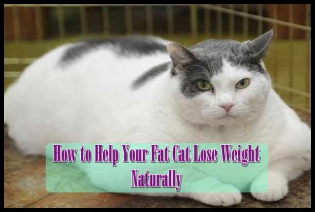 How to Help Your Fat Cat Lose Weight Naturally - Tail and Fur