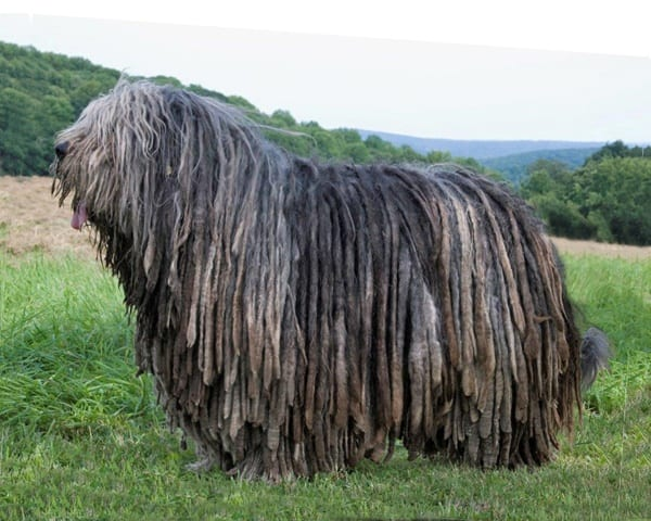 Pics Photos - 10 Long Haired Dog Breeds