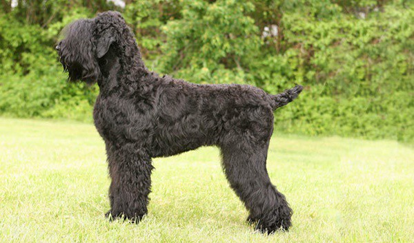 ... are known as very powerful guard dog and have sharp sense of smell