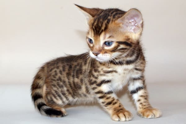 Bengal House Cat Kittens For Sale