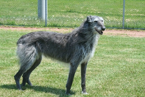 15 Types of Large Dog Breeds with Pictures