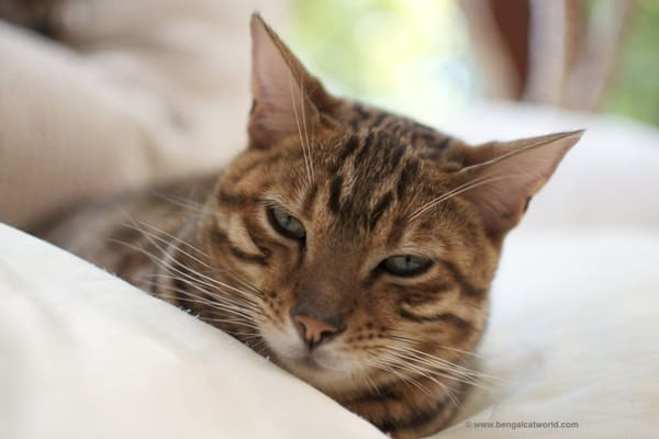 World S Most Popular Domestic Cats