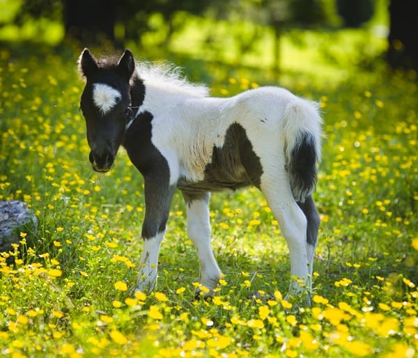 30 Heart Melting Pictures Of Cute Miniature Horses
