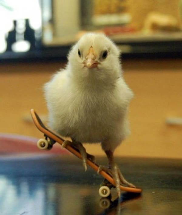 30 Hilarious and Funny Pictures of Chickens - Tail and Fur