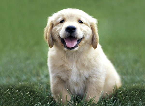 40 Big Dog Puppy Pictures 2