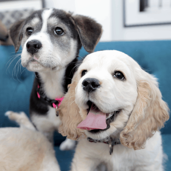 40 Big Dog Puppy Pictures 22