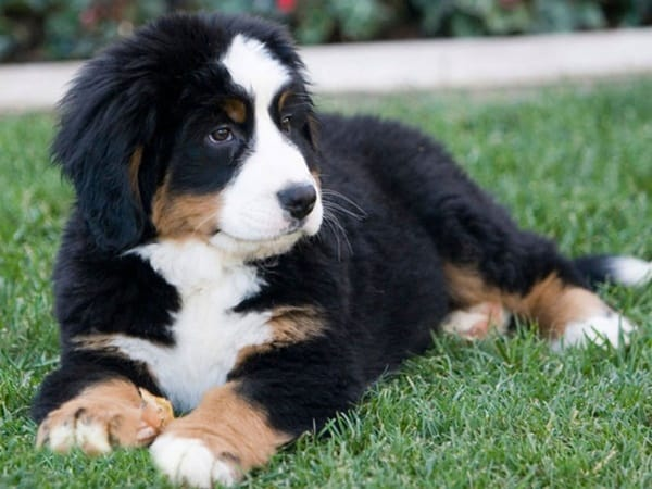 40 Big Dog Puppy Pictures 27