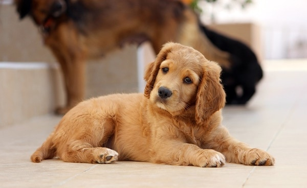 40 Big Dog Puppy Pictures 30