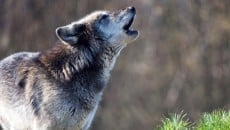 Majestic Gray Wolf Pictures (31)