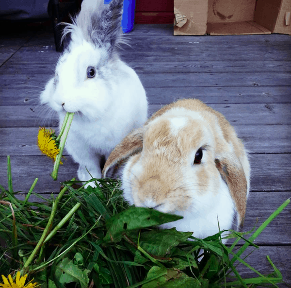 Pet Rabbit Behaviors and Language (1)