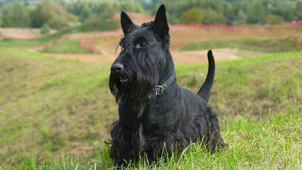 favourite black dog breeds (6)