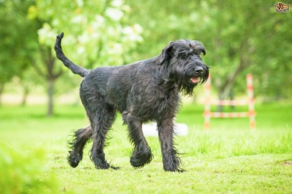 favourite black dog breeds (8)