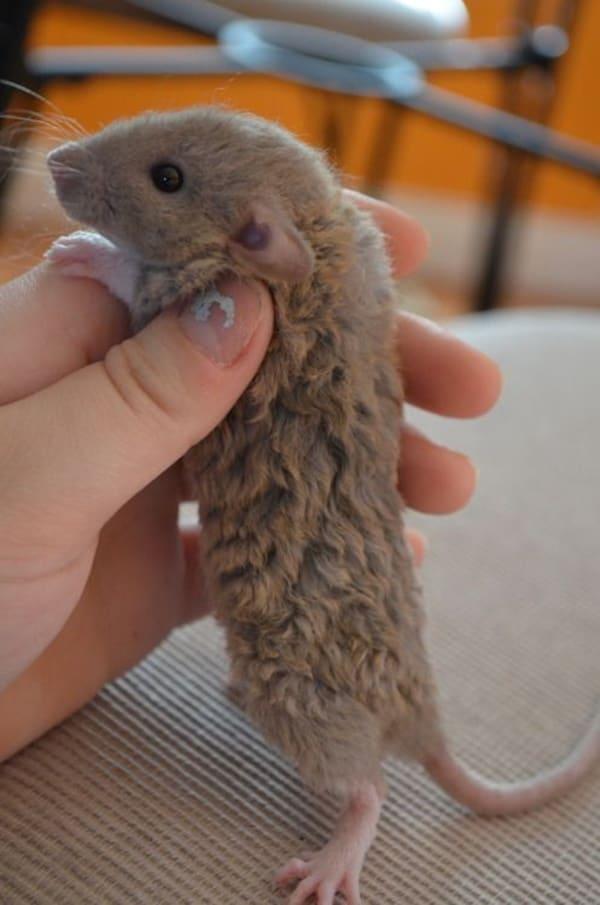 cute rat pictures (1)