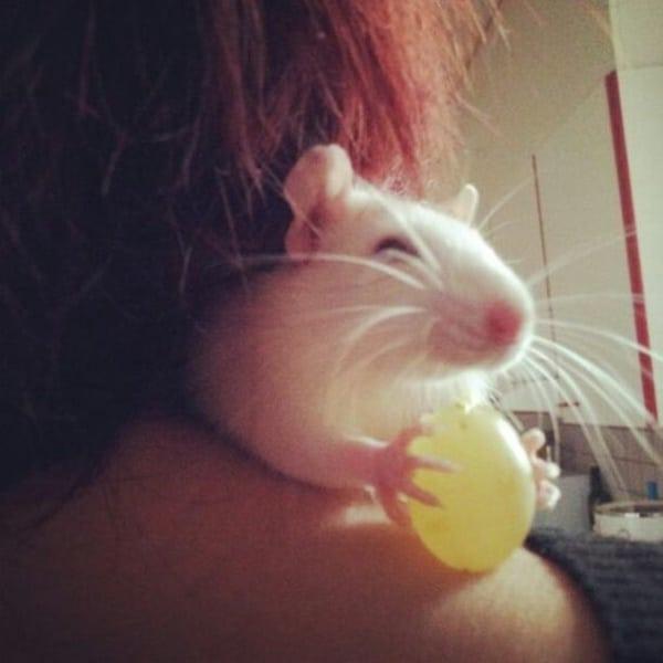 cute rat pictures (14)