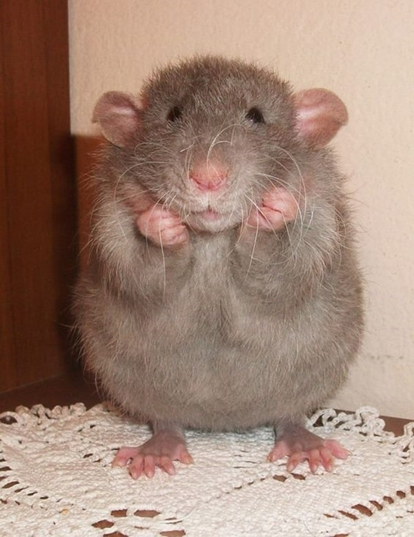 cute rat pictures (15)