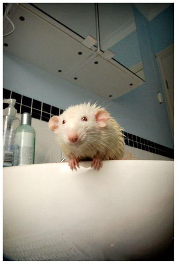 cute rat pictures (17)