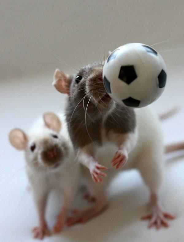 cute rat pictures (18)