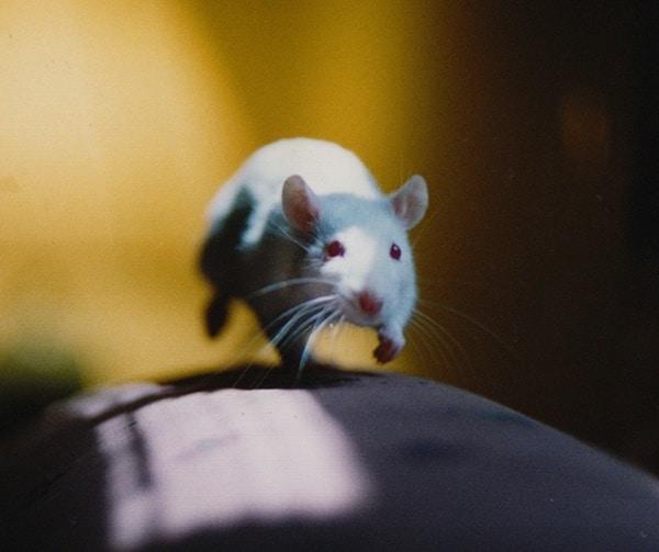 cute rat pictures (20)