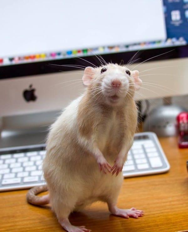 cute rat pictures (27)
