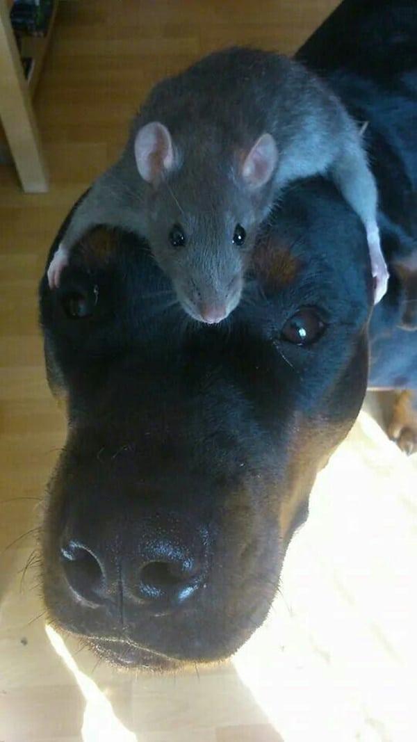 cute rat pictures (3)