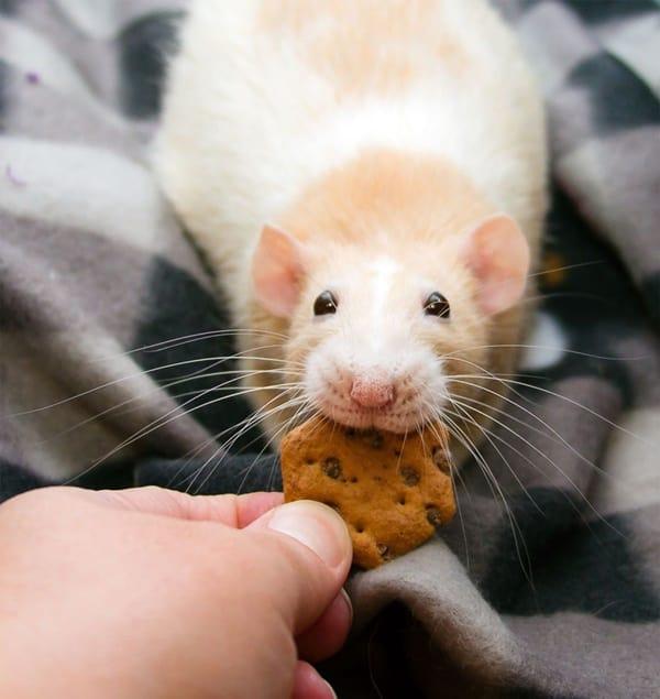 cute rat pictures (30)