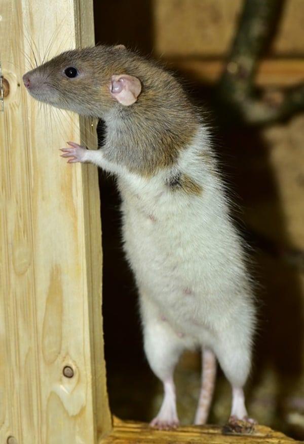 cute rat pictures (33)
