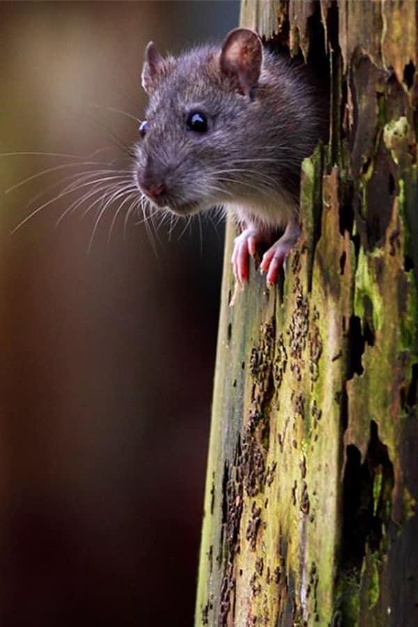 cute rat pictures (8)