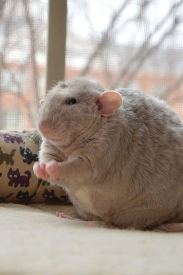 cute rat pictures (9)