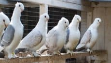 15 Most Popular Pigeon Breeds Feature Image