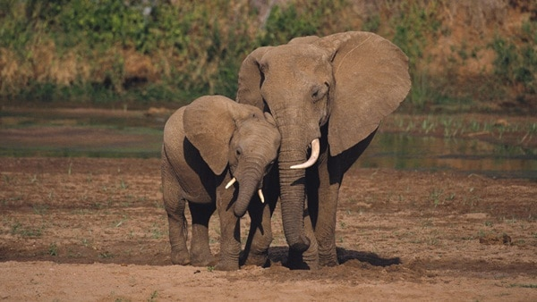 20 Interesting African Elephant Facts for Kids - Tail and Fur