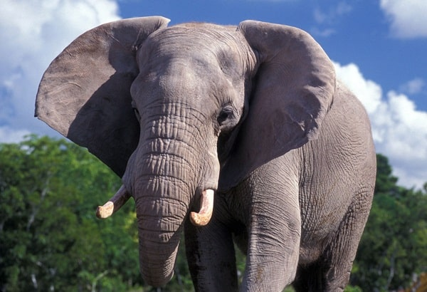20 Interesting African Elephant Facts for Kids 3