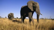 20 Interesting African Elephant Facts for Kids Feature Image