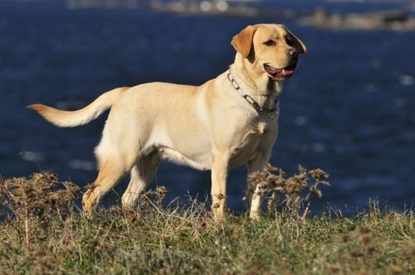 Best Things about Owing a Labrador Retriever 3