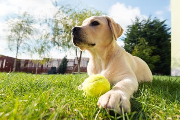 Best Things about Owing a Labrador Retriever 4