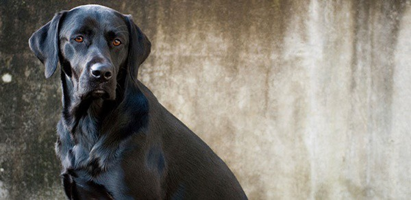 Best Things about Owing a Labrador Retriever 9