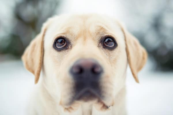 Best Things about Owing a Labrador retriever