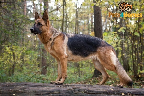 German Shepherd Dogs Interesting Facts And Information
