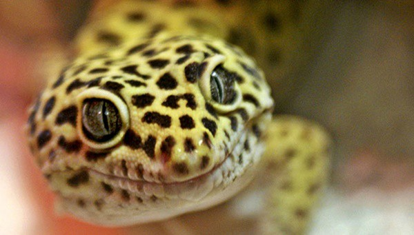 Leopard Gecko Diet and Care Information 1