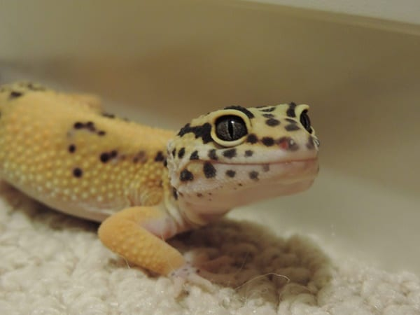 Leopard Gecko Diet And Care Information Tail And Fur