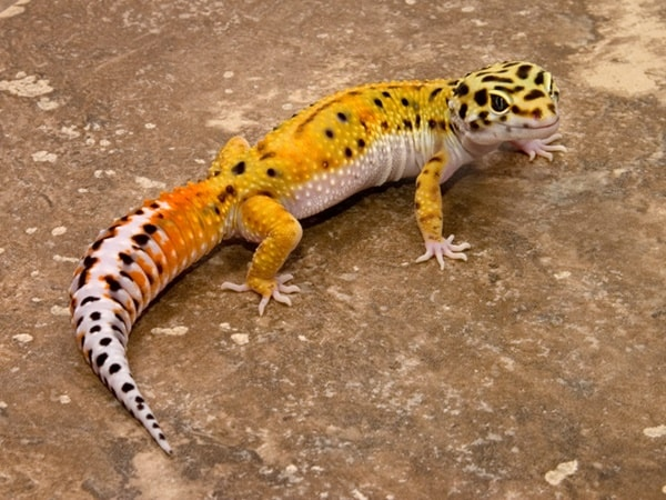 Leopard Gecko Diet and Care Information 6