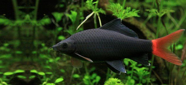 15 exotic freshwater tropical fish species information for Freshwater shark fish