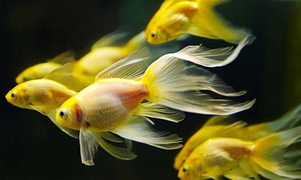 15 Exotic Freshwater Tropical Fish Information Feature Image