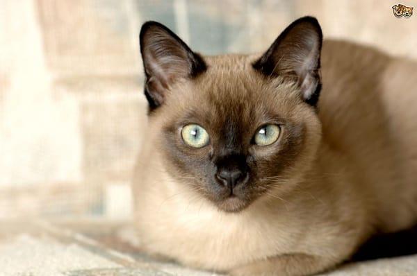 10 Best Smartest Cat Breeds 3