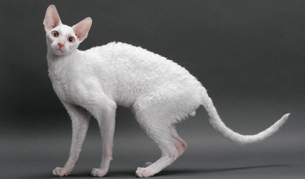 10 Best Smartest Cat Breeds 4