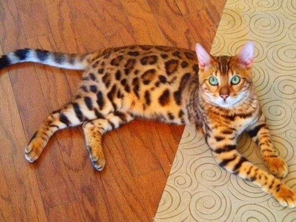 10 Best Smartest Cat Breeds 8