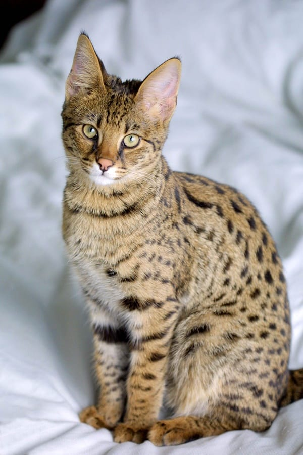 10 Large Cat Breeds in the World 1