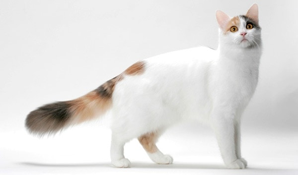 10 Large Cat Breeds in the World 10