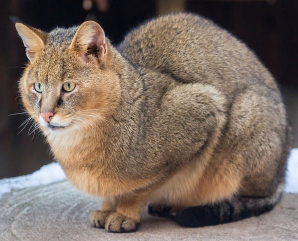 10 Large Cat Breeds in the World 2